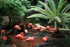 Rebanho dos flamingos Imagens de Stock