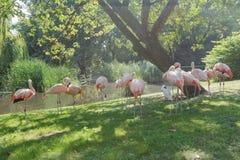Rebanho dos flamingos chilenos que enfeitam-se no fundo exterior do verão verde Imagem de Stock Royalty Free