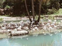 Rebanho dos flamingos em Florida pela água Imagem de Stock