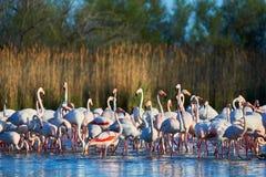 Rebanho dos flamingos na água Foto de Stock Royalty Free