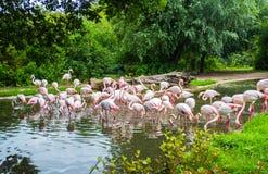 Rebanho dos flamingos no jardim zoológico de Praga, república checa Fotos de Stock
