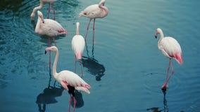 Rebanho dos flamingos no lago vídeos de arquivo