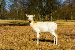 Rebanho dos gamos brancos na natureza no por do sol imagens de stock