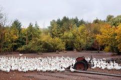 Rebanho dos gansos brancos Fotografia de Stock Royalty Free