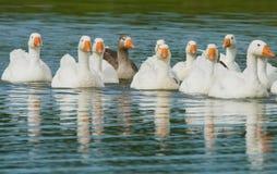 Rebanho dos gansos brancos que nadam Imagens de Stock