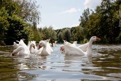 Rebanho dos gansos brancos que nadam Fotos de Stock Royalty Free