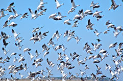 Rebanho dos gansos canadenses que tomam o voo Fotos de Stock Royalty Free