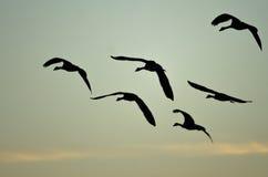 Rebanho dos gansos de Canadá mostrados em silhueta no céu do por do sol como voam Imagem de Stock