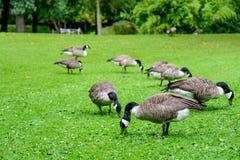 Rebanho dos gansos de Canadá que procuram o alimento Foto de Stock