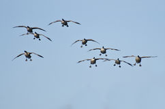 Rebanho dos gansos de Canadá que vêm para baixo para aterrar fotografia de stock royalty free