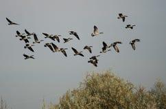 Rebanho dos gansos de Canadá que voam sobre Autumn Marsh Foto de Stock