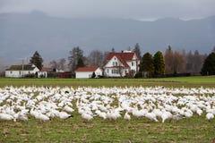 Rebanho dos gansos de neve na terra Imagem de Stock