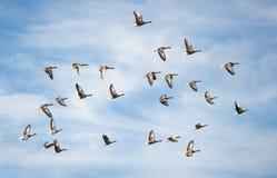 Rebanho dos gansos de pato bravo europeu que voam no céu nebuloso - migração de pássaro no parque nacional Neusiedlersee Seewinke foto de stock