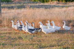 Rebanho dos gansos que pastam na grama no campo do verão no por do sol Fotografia de Stock Royalty Free