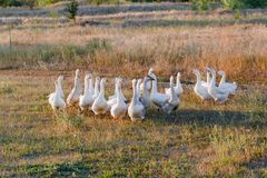 Rebanho dos gansos que pastam na grama no campo do verão no por do sol Imagem de Stock