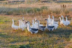 Rebanho dos gansos que pastam na grama no campo do verão no por do sol Imagem de Stock Royalty Free