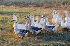Rebanho dos gansos que pastam na grama no campo do verão no por do sol Imagens de Stock