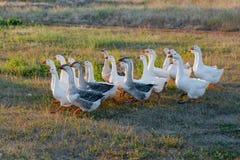 Rebanho dos gansos que pastam na grama no campo do verão no por do sol Foto de Stock
