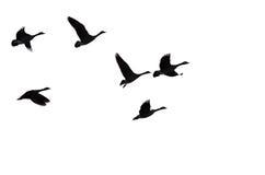 Rebanho dos gansos Silhouetted que voam contra um fundo branco imagens de stock