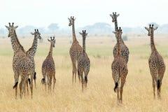 Rebanho dos girafas Fotografia de Stock
