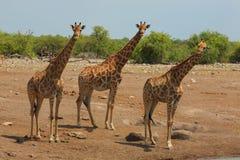 Rebanho dos Giraffes Fotografia de Stock Royalty Free