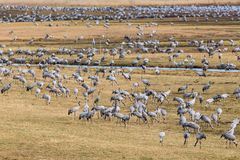 Rebanho dos guindastes em um campo na mola Imagem de Stock