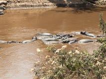 Rebanho dos hipopótamos que descansam na água do Nilo branco no Masai Mara National Park Fotografia de Stock Royalty Free