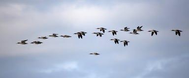 Rebanho dos mergansos de peito encarnado que voam contra um céu nebuloso Imagem de Stock Royalty Free