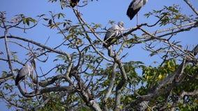 Rebanho dos oscitans do Anastomus dos pássaros de Openbill do asiático que sentam-se na árvore no parque nacional de Chitwan em N vídeos de arquivo