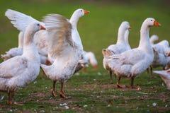 Rebanho dos pássaros gansos na frente do fundo verde da natureza imagem de stock