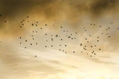 Rebanho dos pássaros mostrados em silhueta e que voam através do céu nebuloso mágico no nascer do sol, Cornualha, Reino Unido imagem de stock