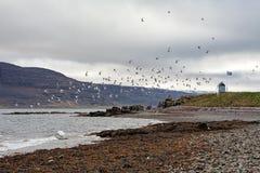 Rebanho dos pássaros na ilha de Vigur, Islândia Fotografia de Stock Royalty Free