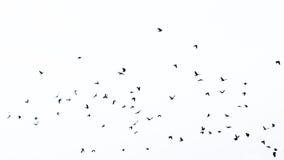 Rebanho dos pássaros na silhueta Fotos de Stock