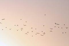Rebanho dos pássaros no céu Fotografia de Stock