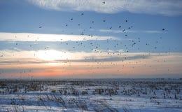Rebanho dos pássaros no inverno Foto de Stock Royalty Free