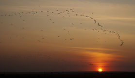 Rebanho dos pássaros no por do sol fotografia de stock royalty free