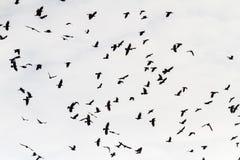Rebanho dos pássaros pretos que voam através do céu fotografia de stock royalty free