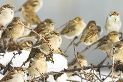 Rebanho dos pardais, ensolarado Fotos de Stock