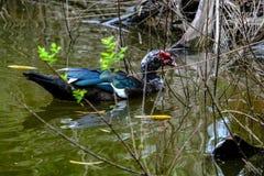 Rebanho dos patos domésticos que nadam nas marés Foto de Stock