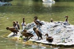 Rebanho dos patos em um lago Fotos de Stock Royalty Free