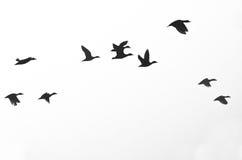 Rebanho dos patos mostrados em silhueta em um fundo branco Imagem de Stock Royalty Free