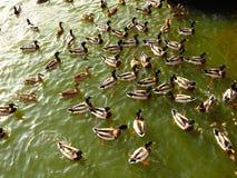 Rebanho dos patos no verde Imagem de Stock