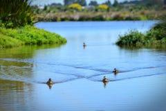 Rebanho dos patos que nadam em um lago em Travis Wetland Nature Heritage Park em Nova Zelândia foto de stock