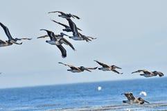 Rebanho dos pelicanos Imagem de Stock