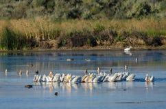 Rebanho dos pelicanos brancos americanos que descansam e que alimentam no pântano Fotografia de Stock