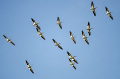 Rebanho dos pelicanos brancos americanos que voam em um céu azul Fotografia de Stock