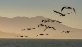 Rebanho dos pelicanos de Brown que voam sobre o Oceano Pacífico no crepúsculo Foto de Stock Royalty Free