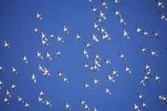 Rebanho dos pelicanos em voo sobre Pensacola, ilha FL do golfo imagens de stock
