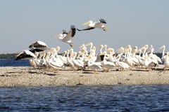 Rebanho dos pelicanos pela costa Foto de Stock