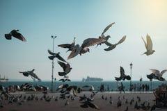 Rebanho dos pombos Fotografia de Stock